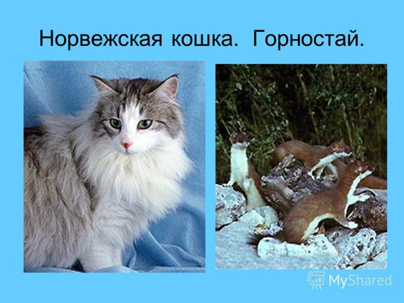 Норвежская кошка. Горностай.