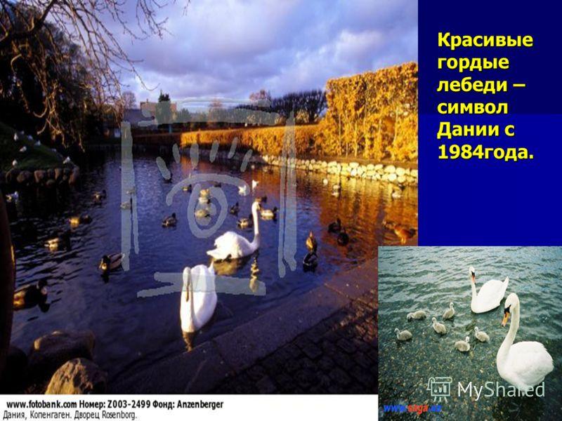 Красивые гордые лебеди – символ Дании с 1984года.