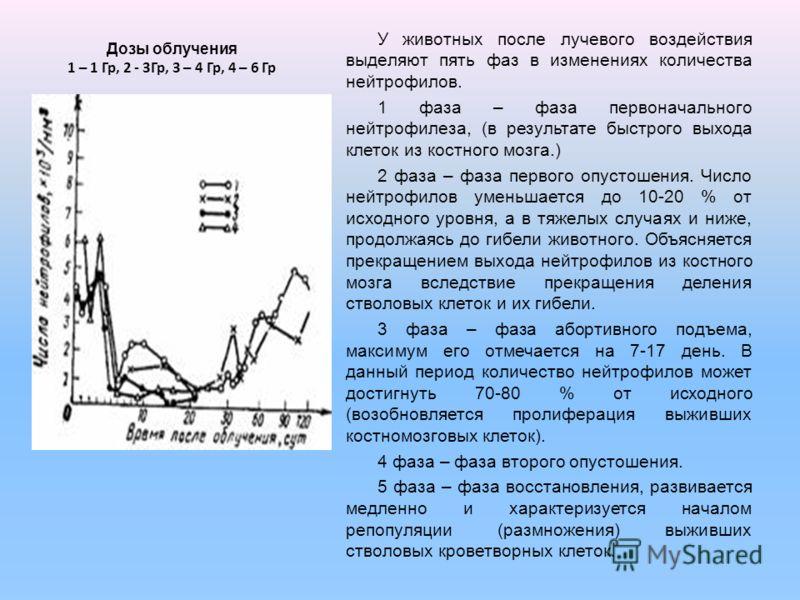 Дозы облучения 1 – 1 Гр, 2 - 3Гр, 3 – 4 Гр, 4 – 6 Гр У животных после лучевого воздействия выделяют пять фаз в изменениях количества нейтрофилов. 1 фаза – фаза первоначального нейтрофилеза, (в результате быстрого выхода клеток из костного мозга.) 2 ф