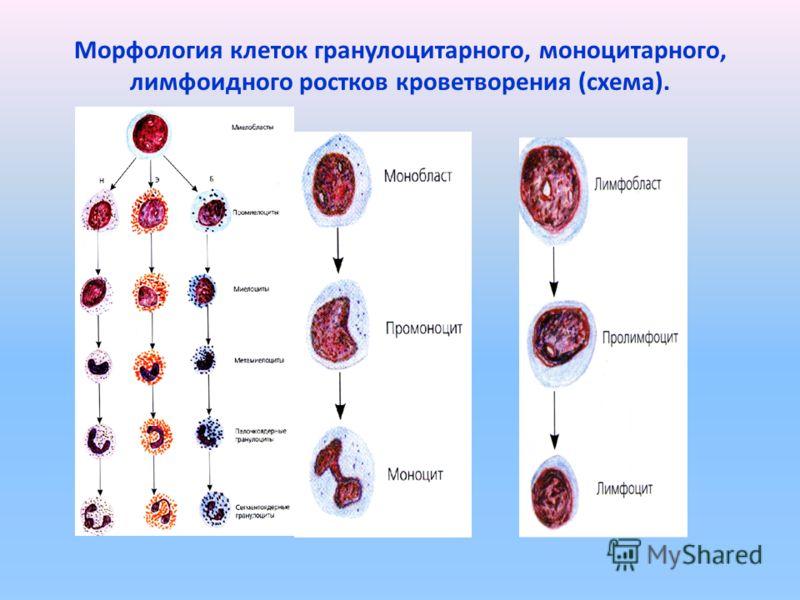 Морфология клеток гранулоцитарного, моноцитарного, лимфоидного ростков кроветворения (схема).
