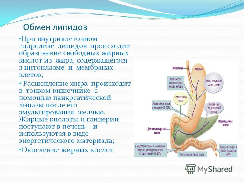 Обмен липидов При внутриклеточном гидролизе липидов происходит образование свободных жирных кислот из жира, содержащегося в цитоплазме и мембранах клеток; Расщепление жира происходит в тонком кишечнике с помощью панкреатической липазы после его эмуль