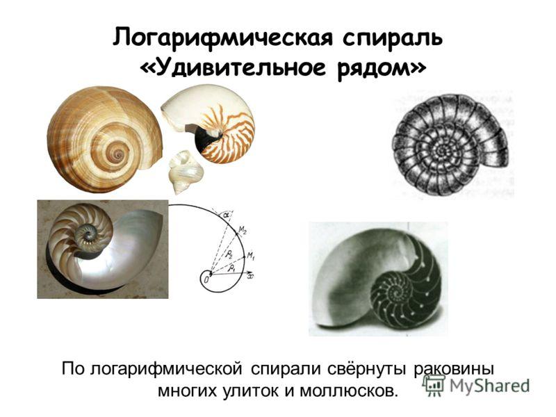 Логарифмическая спираль «Удивительное рядом» По логарифмической спирали свёрнуты раковины многих улиток и моллюсков.