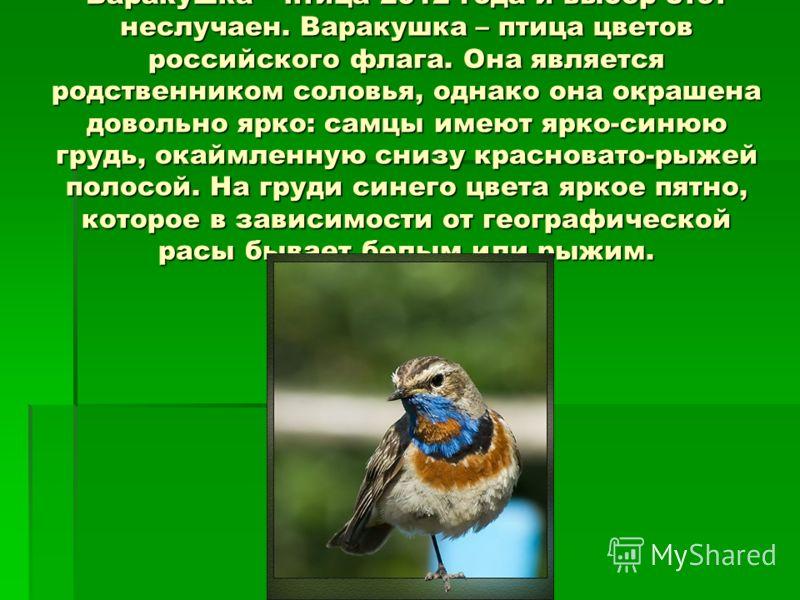 Варакушка – птица 2012 года и выбор этот неслучаен. Варакушка – птица цветов российского флага. Она является родственником соловья, однако она окрашена довольно ярко: самцы имеют ярко-синюю грудь, окаймленную снизу красновато-рыжей полосой. На груди