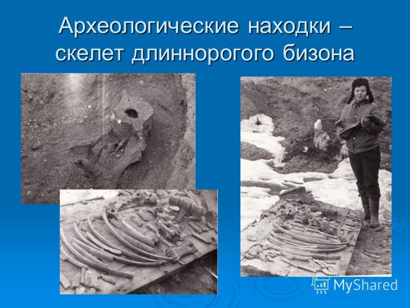 Археологические находки – скелет длиннорогого бизона