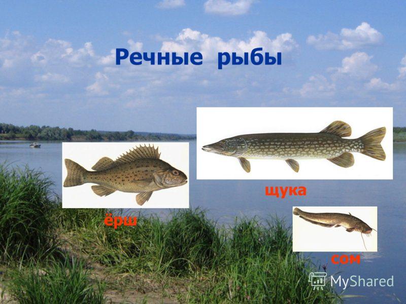 Речные рыбы сом ёрш щука