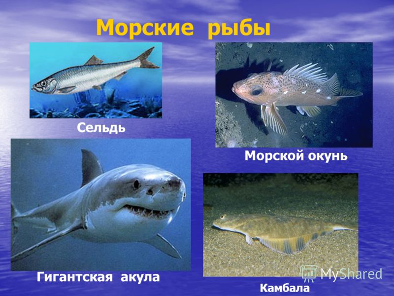 Морские рыбы Гигантская акула Морской окунь Камбала Сельдь