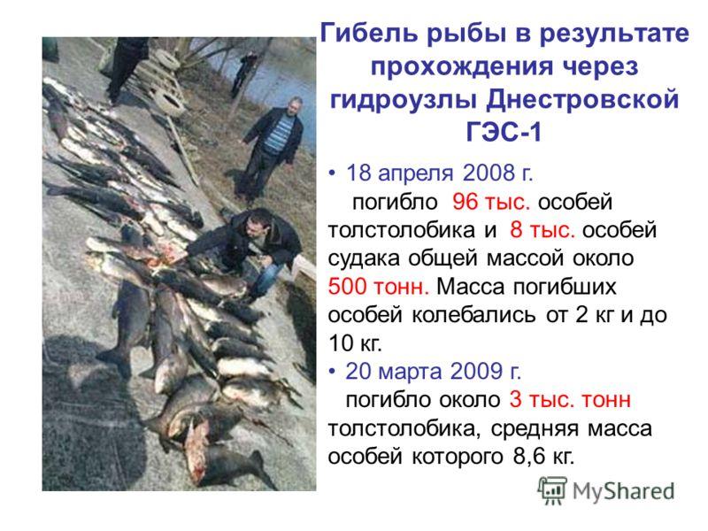 Гибель рыбы в результате прохождения через гидроузлы Днестровской ГЭС-1 18 апреля 2008 г. погибло 96 тыс. особей толстолобика и 8 тыс. особей судака общей массой около 500 тонн. Масса погибших особей колебались от 2 кг и до 10 кг. 20 марта 2009 г. по