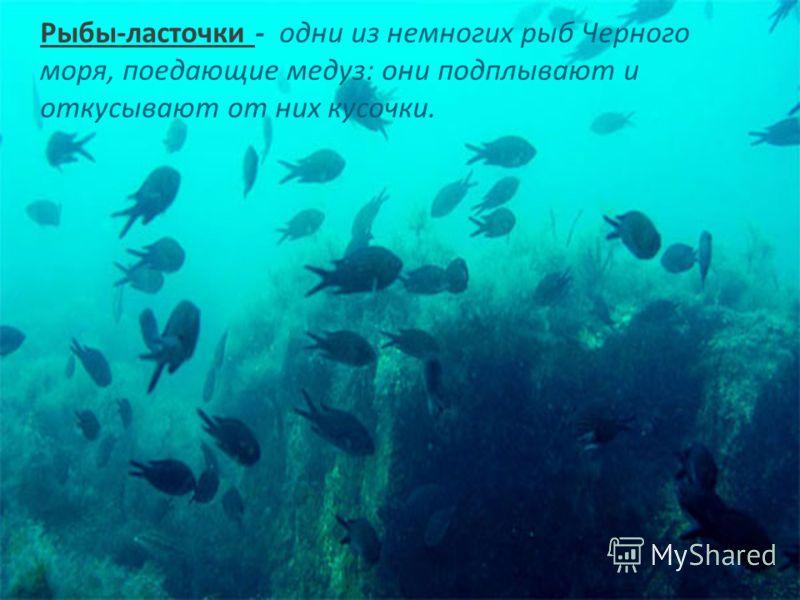 Рыбы-ласточки - одни из немногих рыб Черного моря, поедающие медуз: они подплывают и откусывают от них кусочки.
