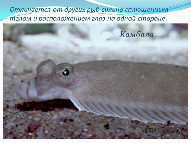 Отличается от других рыб сильно сплющенным телом и расположением глаз на одной стороне. Камбала