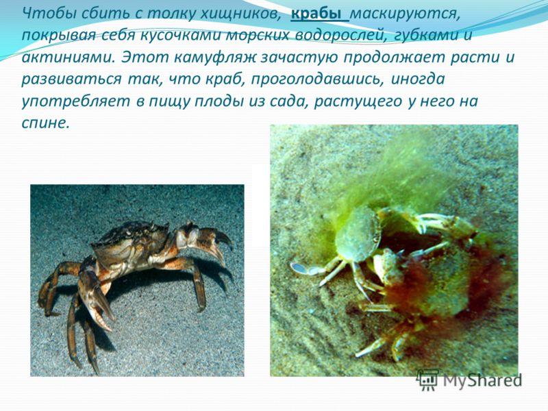 Чтобы сбить с толку хищников, крабы маскируются, покрывая себя кусочками морских водорослей, губками и актиниями. Этот камуфляж зачастую продолжает расти и развиваться так, что краб, проголодавшись, иногда употребляет в пищу плоды из сада, растущего