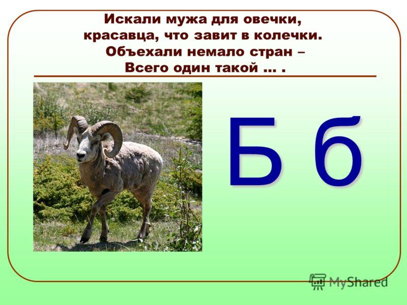Искали мужа для овечки, красавца, что завит в колечки. Объехали немало стран – Всего один такой …. Б б