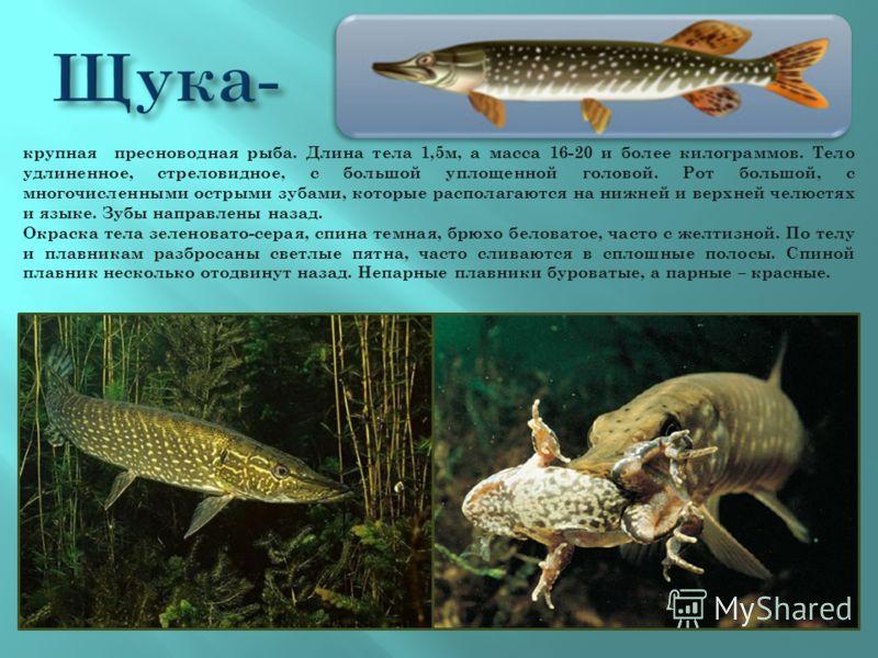 крупная пресноводная рыба. Длина тела 1,5м, а масса 16-20 и более килограммов. Тело удлиненное, стреловидное, с большой уплощенной головой. Рот большой, с многочисленными острыми зубами, которые располагаются на нижней и верхней челюстях и языке. Зуб