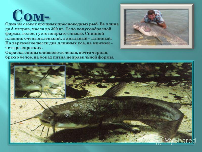 Сом- Одна из самых крупных пресноводных рыб. Ее длина до 5 метров, масса до 300 кг. Тело конусообразной формы, голое, густо покрыто слизью. Спинной плавник очень маленький, а анальный – длинный. На верхней челюсти два длинных уса, на нижней – четыре
