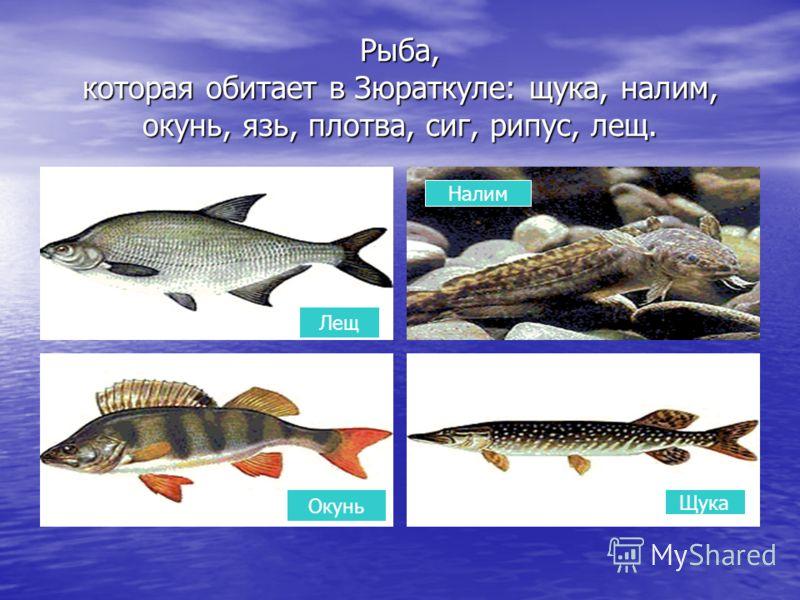 Рыба, которая обитает в Зюраткуле: щука, налим, окунь, язь, плотва, сиг, рипус, лещ. Лещ Щука Налим Окунь