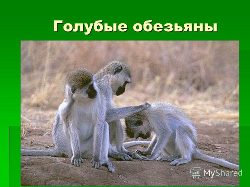 Голубые обезьяны
