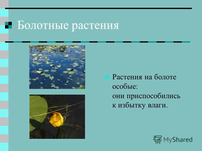 Болотные растения Растения на болоте особые: они приспособились к избытку влаги.