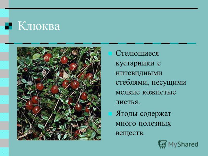 Клюква Стелющиеся кустарники с нитевидными стеблями, несущими мелкие кожистые листья. Ягоды содержат много полезных веществ.