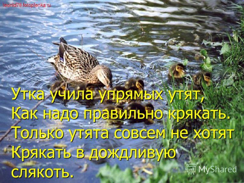 Утка учила упрямых утят, Как надо правильно крякать. Только утята совсем не хотят Крякать в дождливую слякоть.