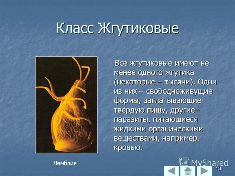 Класс Жгутиковые Все жгутиковые имеют не менее одного жгутика (некоторые – тысячи). Одни из них – свободноживущие формы, заглатывающие твёрдую пищу, другие– паразиты, питающиеся жидкими органическими веществами, например, кровью. Все жгутиковые имеют