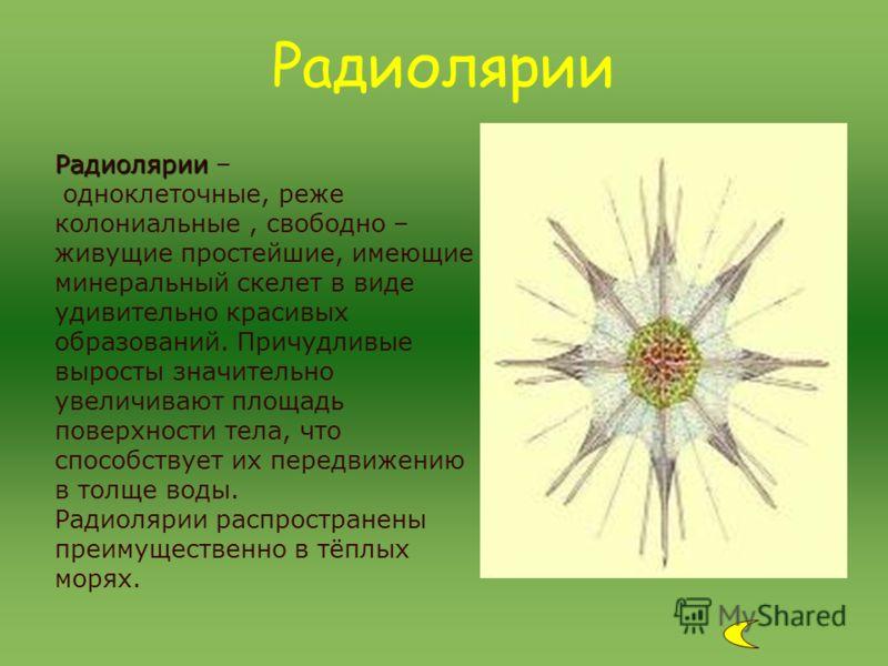 Радиолярии Радиолярии – одноклеточные, реже колониальные, свободно – живущие простейшие, имеющие минеральный скелет в виде удивительно красивых образований. Причудливые выросты значительно увеличивают площадь поверхности тела, что способствует их пер