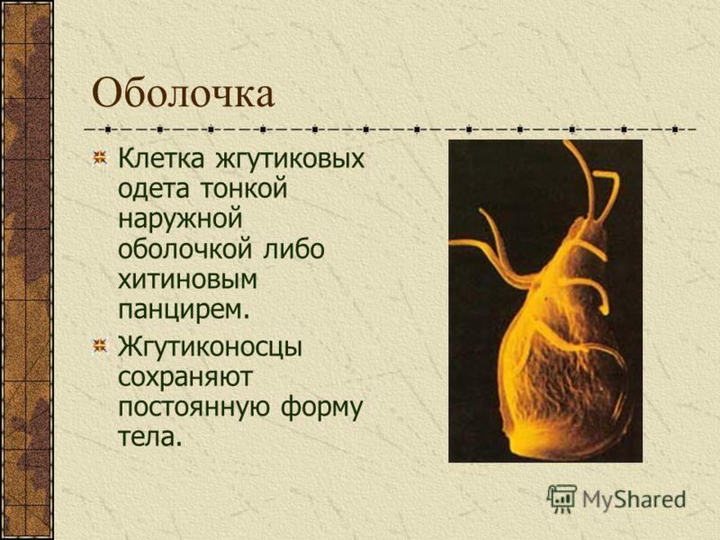 Оболочка Клетка жгутиковых одета тонкой наружной оболочкой либо хитиновым панцирем. Жгутиконосцы сохраняют постоянную форму тела.