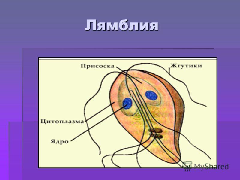 Лямблия