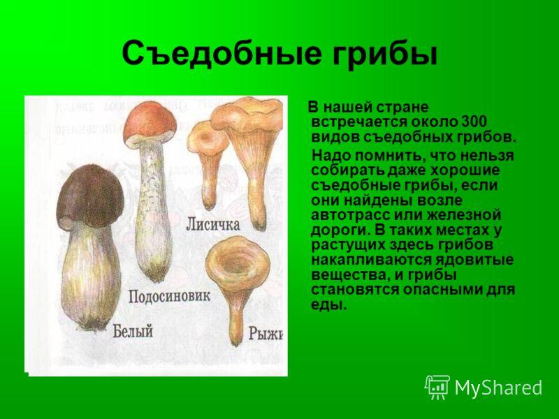 Съедобные грибы В нашей стране встречается около 300 видов съедобных грибов. Надо помнить, что нельзя собирать даже хорошие съедобные грибы, если они найдены возле автотрасс или железной дороги. В таких местах у растущих здесь грибов накапливаются яд