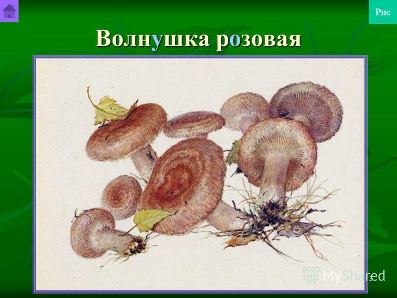 Шурута Станислав Гендрикович12 Зеленушка Гриб съедобный 4-й категории. Однако его часто не собирают, так как очень трудно его очистить от приставшего песка, который попадает в пищу. Гриб съедобный 4-й категории. Однако его часто не собирают, так как