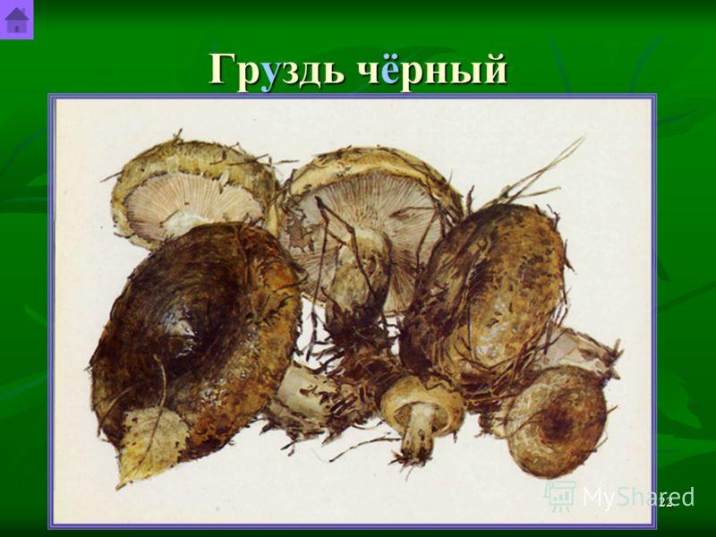 Шурута Станислав Гендрикович21 Груздь настоящий Встречаются грузди настоящие с июля по октябрь не часто, но обильно, больше всего в северных и северо- западных областях России, на севере центральных областей, в Верхнем и Среднем Поволжье, на Урале и