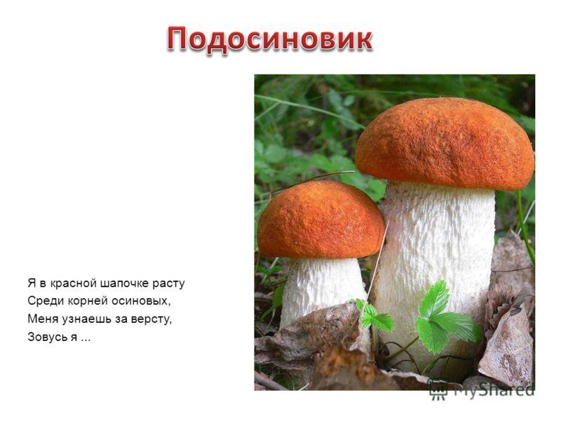 Я в красной шапочке расту Среди корней осиновых, Меня узнаешь за версту, Зовусь я...