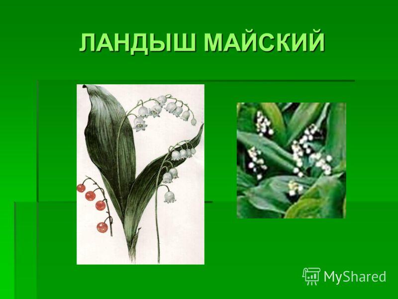 ЛАНДЫШ МАЙСКИЙ