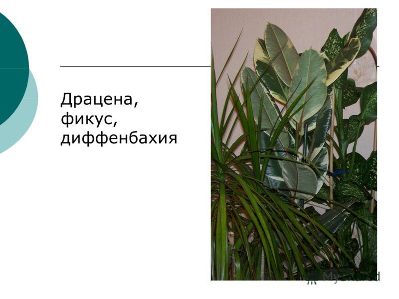 Драцена, фикус, диффенбахия