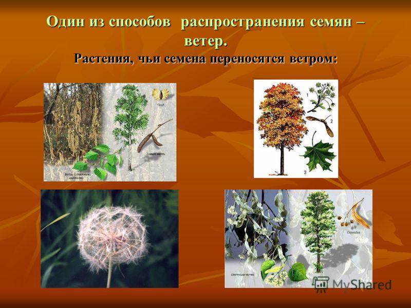 Один из способов распространения семян – ветер. Растения, чьи семена переносятся ветром: