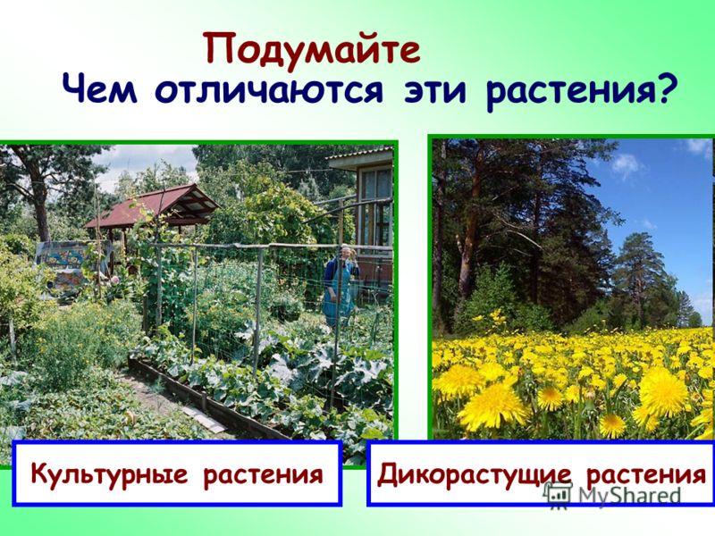Подумайте Чем отличаются эти растения? Культурные растенияДикорастущие растения