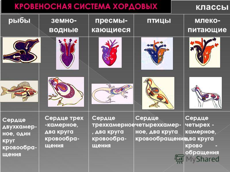 классы рыбыземно- водные пресмы- кающиеся птицымлеко- питающие КРОВЕНОСНАЯ СИСТЕМА ХОРДОВЫХ Сердце двухкамер- ное, один круг кровообра- щения Сердце трех -камерное, два круга кровообра- щения Сердце трехкамерное, два круга кровообра- щения Сердце чет