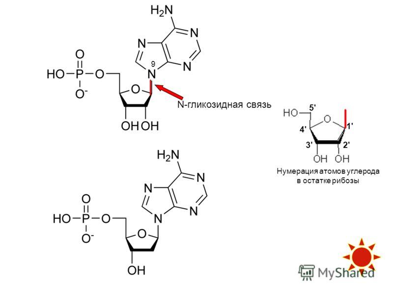 Нумерация атомов углерода в остатке рибозы 1' 2'3' 5' 4' N-гликозидная связь 9