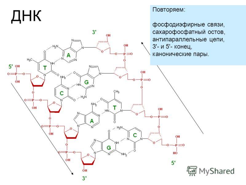 ДНК Повторяем: фосфодиэфирные связи, сахарофосфатный остов, антипараллельные цепи, 3'- и 5'- конец, канонические пары.