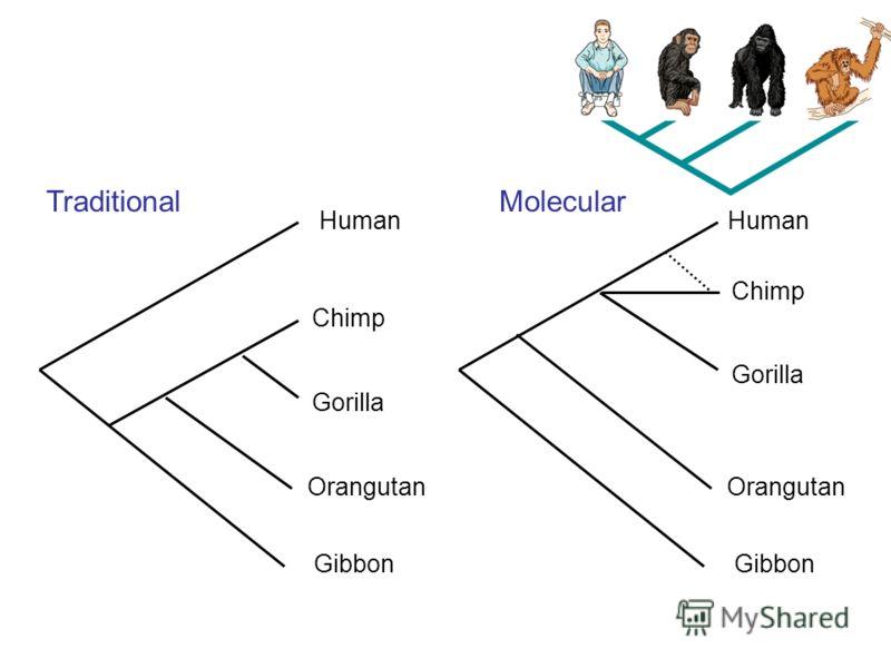Human Chimp Gorilla Orangutan Gibbon Traditional Human Chimp Gorilla Orangutan Gibbon Molecular