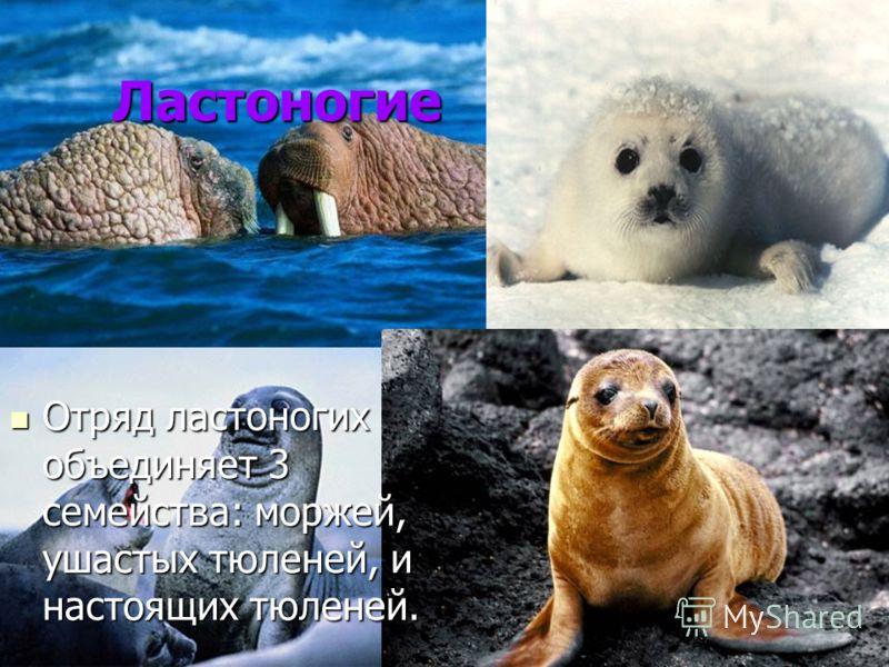 Ластоногие Отряд ластоногих объединяет 3 семейства: моржей, ушастых тюленей, и настоящих тюленей. Отряд ластоногих объединяет 3 семейства: моржей, ушастых тюленей, и настоящих тюленей.