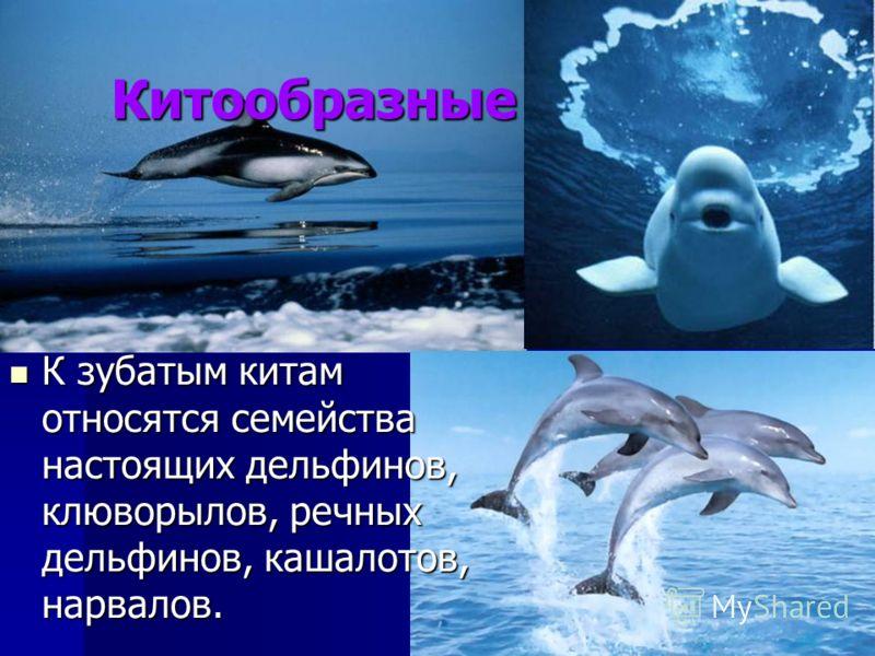 Китообразные К зубатым китам относятся семейства настоящих дельфинов, клюворылов, речных дельфинов, кашалотов, нарвалов. К зубатым китам относятся семейства настоящих дельфинов, клюворылов, речных дельфинов, кашалотов, нарвалов.