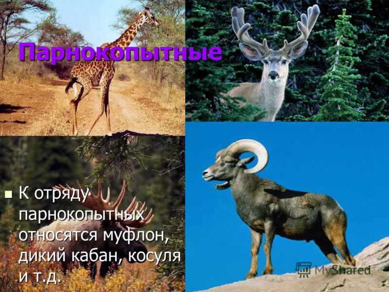 Парнокопытные К отряду парнокопытных относятся муфлон, дикий кабан, косуля и т.д. К отряду парнокопытных относятся муфлон, дикий кабан, косуля и т.д.