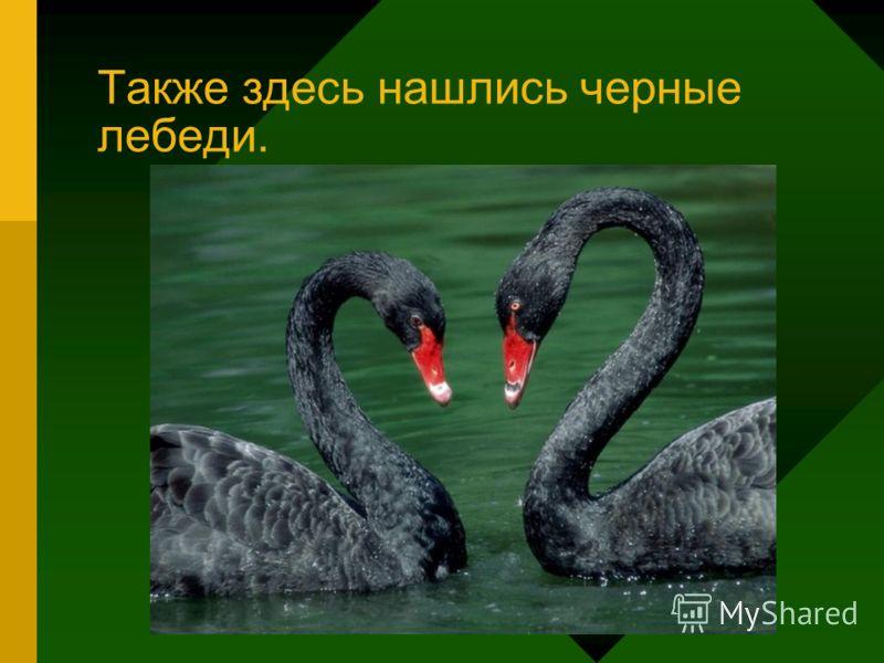 Также здесь нашлись черные лебеди.