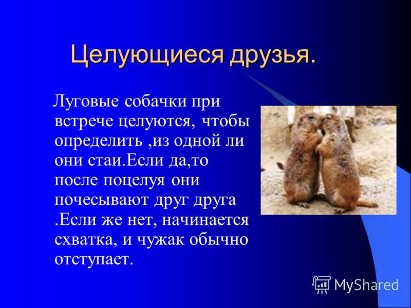 Целующиеся друзья. Целующиеся друзья. Луговые собачки при встрече целуются, чтобы определить,из одной ли они стаи.Если да,то после поцелуя они почесывают друг друга.Если же нет, начинается схватка, и чужак обычно отступает.