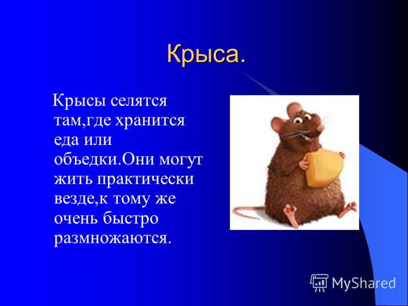 Крыса. Крыса. Крысы селятся там,где хранится еда или объедки.Они могут жить практически везде,к тому же очень быстро размножаются.