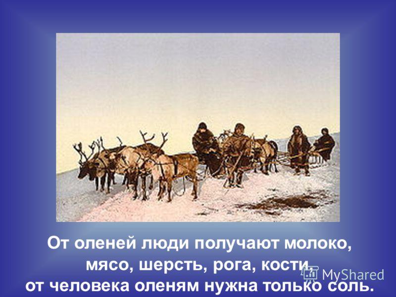 От оленей люди получают молоко, мясо, шерсть, рога, кости, от человека оленям нужна только соль.