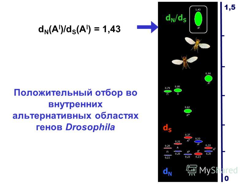 Положительный отбор во внутренних альтернативных областях генов Drosophila dN/dSdN/dS dSdS dNdN d N (A I )/d S (A I ) = 1,43 1,5 0