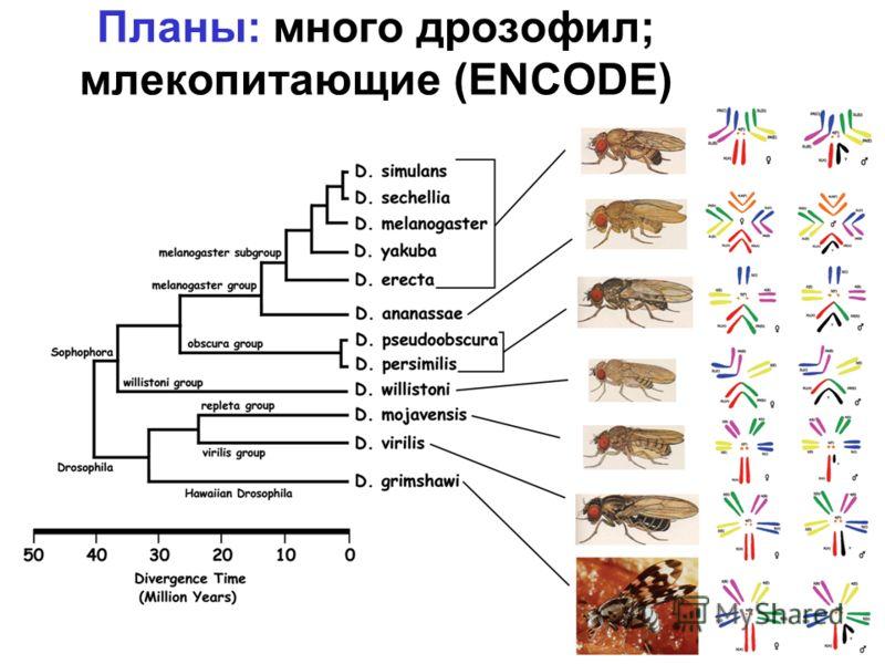 Планы: много дрозофил; млекопитающие (ENCODE)
