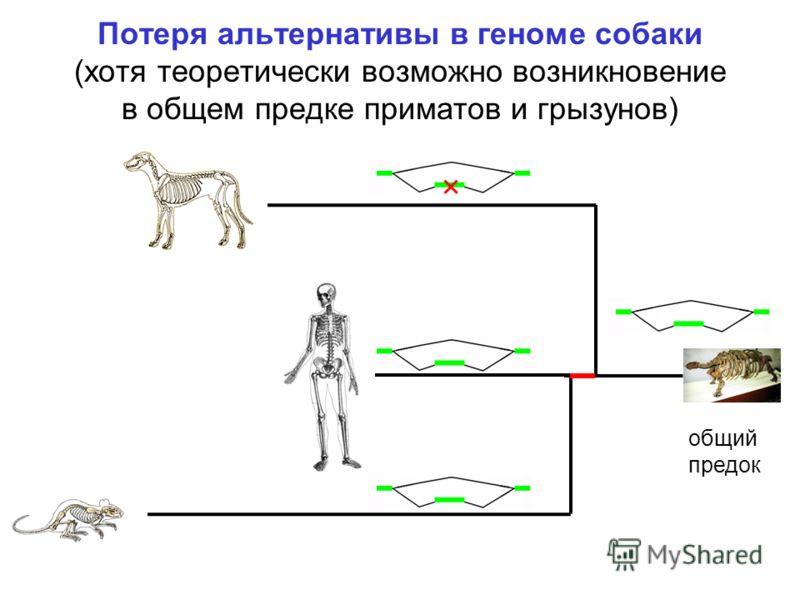 Потеря альтернативы в геноме собаки (хотя теоретически возможно возникновение в общем предке приматов и грызунов) общий предок