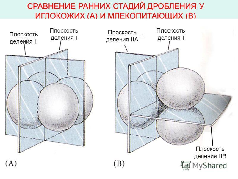 СРАВНЕНИЕ РАННИХ СТАДИЙ ДРОБЛЕНИЯ У ИГЛОКОЖИХ (А) И МЛЕКОПИТАЮЩИХ (В) Плоскость деления II Плоскость деления I Плоскость деления IIA Плоскость деления I Плоскость деления IIB Плоскость деления II Плоскость деления I Плоскость деления IIA Плоскость де
