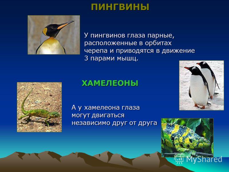 У пингвинов глаза парные, расположенные в орбитах черепа и приводятся в движение 3 парами мышц. А у хамелеона глаза могут двигаться независимо друг от друга ПИНГВИНЫ ХАМЕЛЕОНЫ